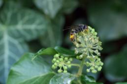 Les dangers du frelon asiatique par Neature